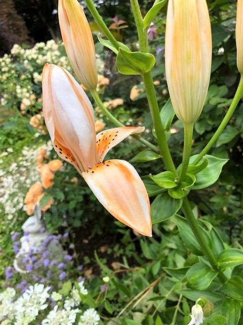 ポンポネッラが咲く小さなアーチ♪_e0341606_21100451.jpg