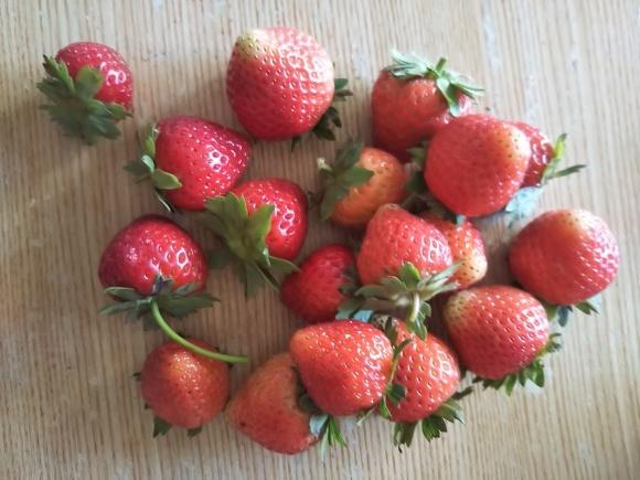 イチゴ収穫_f0316507_21085763.jpg