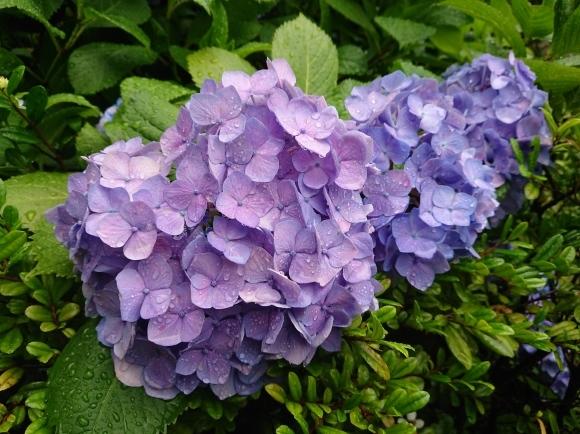 6/23夜勤明け 雨の紫陽花_b0042308_16435921.jpg