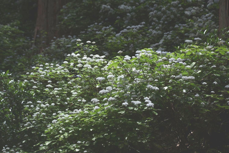 東吉野のコアジサイ群落_a0237937_19574434.jpg