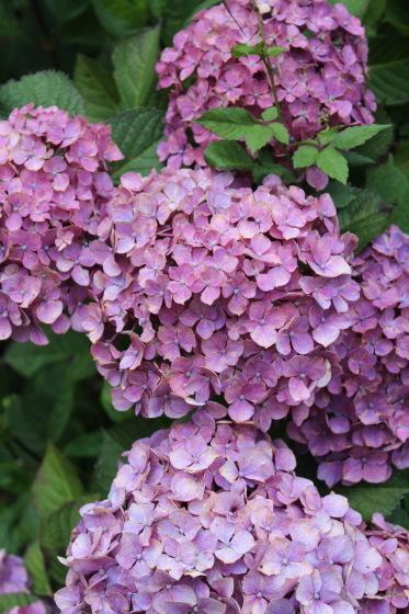 太閤山ランドの紫陽花_b0132338_08221447.jpeg