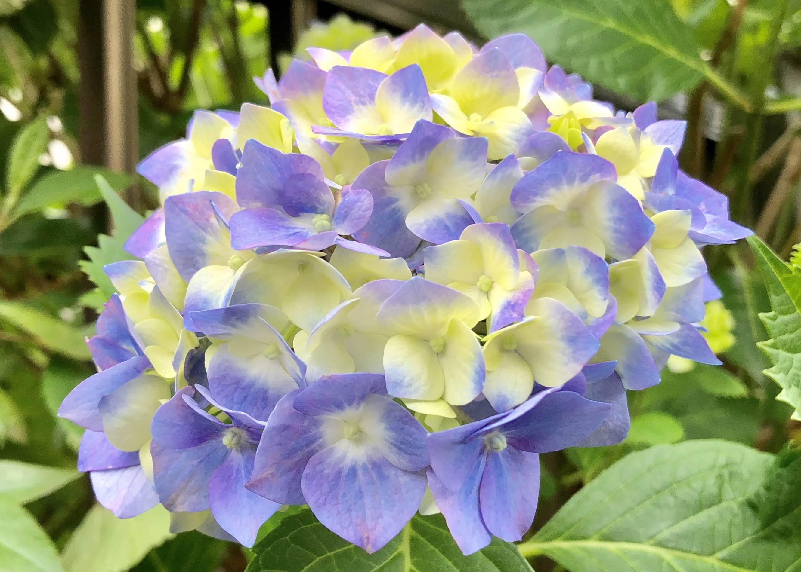 """梅雨のアジサイと、""""笑顔で応えてくれる人""""のおはなし(^-^)~思いやりと優しさ~_b0298740_14023107.jpg"""