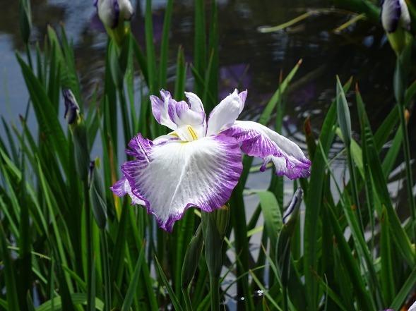山田池公園の花菖蒲_b0299042_21244254.jpg