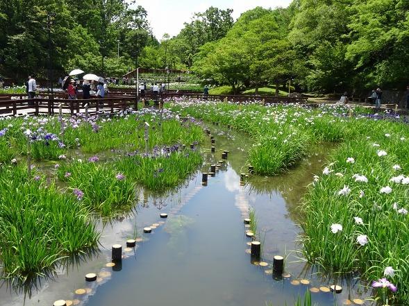 山田池公園の花菖蒲_b0299042_21250284.jpg