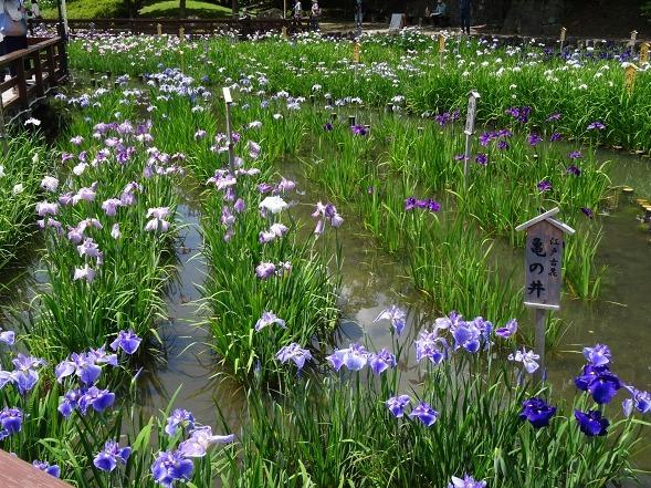 山田池公園の花菖蒲_b0299042_21250759.jpg