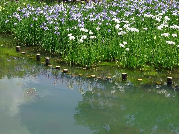 山田池公園の花菖蒲_b0299042_21251883.jpg