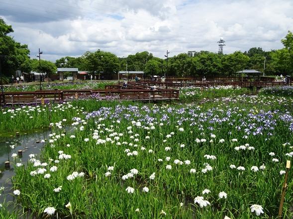 山田池公園の花菖蒲_b0299042_21260234.jpg