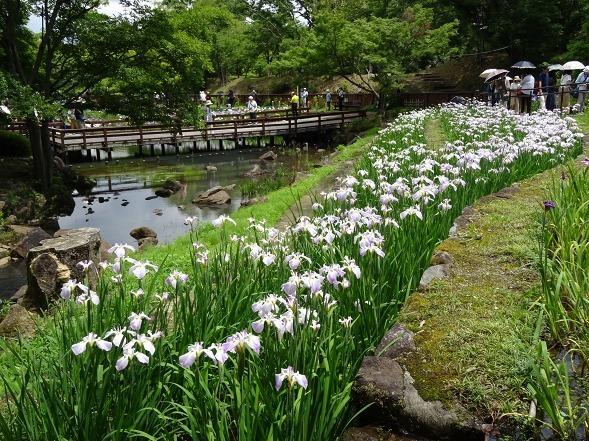 山田池公園の花菖蒲_b0299042_21261853.jpg