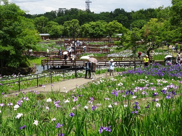 山田池公園の花菖蒲_b0299042_21263080.jpg
