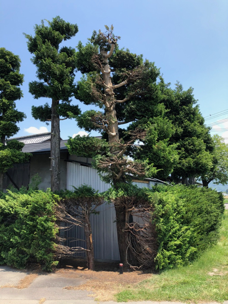 サワラ樹木治療 / 野焼き延焼_c0112447_12353606.jpg