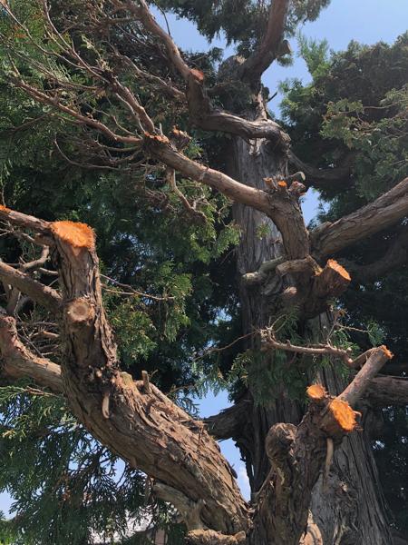 サワラ樹木治療 / 野焼き延焼_c0112447_12363029.jpg