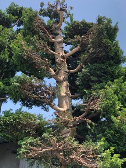 サワラ樹木治療 / 野焼き延焼_c0112447_12363850.jpg