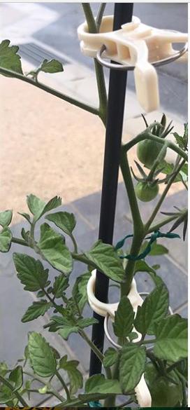 誘引クリップ結22Φで、トマトの苗をしっかりと支えてもらっています。_d0173467_16360984.png