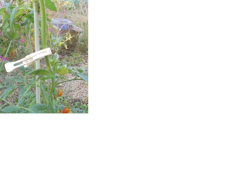 誘引クリップ結22Φで、トマトの苗をしっかりと支えてもらっています。_d0173467_16520416.png