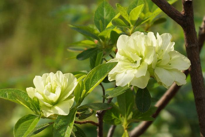 白い花_d0162994_08580510.jpg