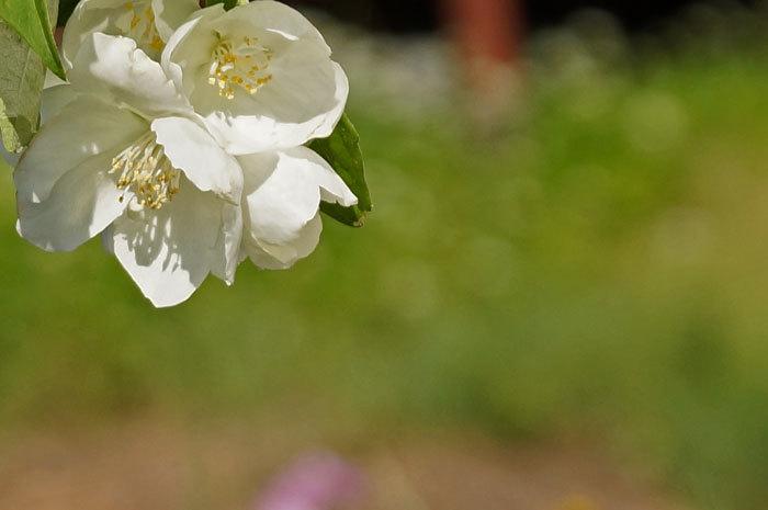 白い花_d0162994_08591283.jpg