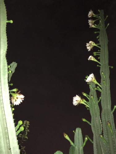 サボテン『月下美人』…狂い咲き_f0061797_23232723.jpg