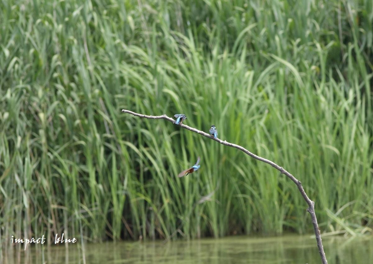 素敵な沼のカワセミっ子(^^)/_a0355908_14251419.jpg
