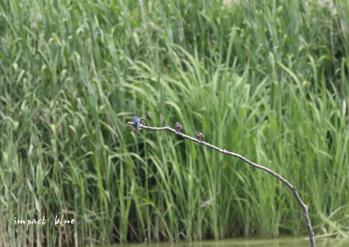 素敵な沼のカワセミっ子(^^)/_a0355908_14252086.jpg