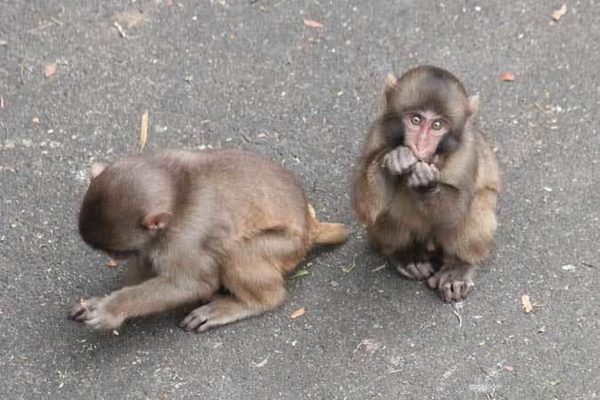 ニホンザルの子供たち(智光山公園こども動物園 October 2018)_b0355317_22161112.jpg