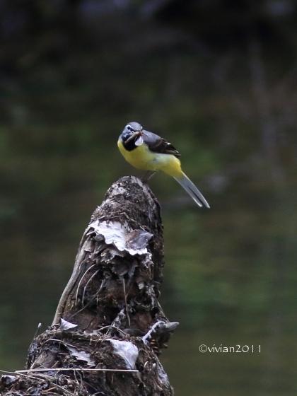 日光 大人の遠足 おまけ ~奥日光で出会った野鳥たち~_e0227942_23110602.jpg