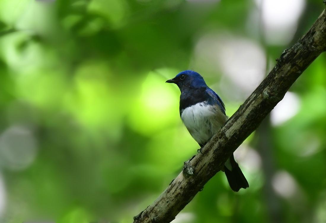 合いたい鳥さんを見つけたけど....オオルリ♂と若様  ヤブサメ_f0053272_23074534.jpg