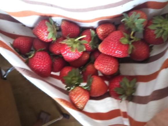 イチゴ収穫_f0316507_07371036.jpg