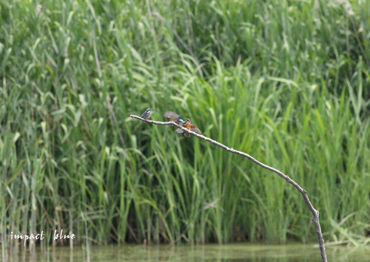 素敵な沼のカワセミっ子(^^)/ ~最終回~_a0355908_14250609.jpg