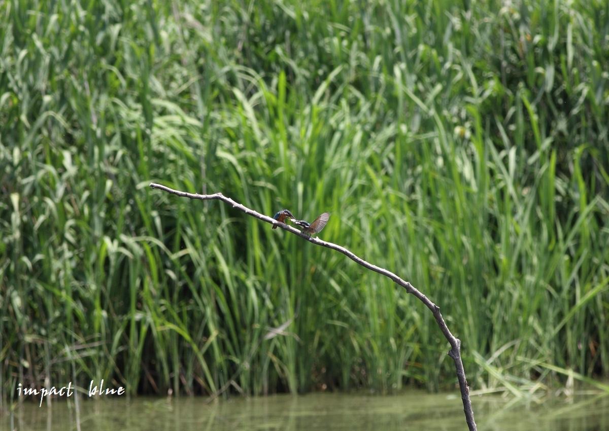 素敵な沼のカワセミっ子(^^)/ ~最終回~_a0355908_14252042.jpg