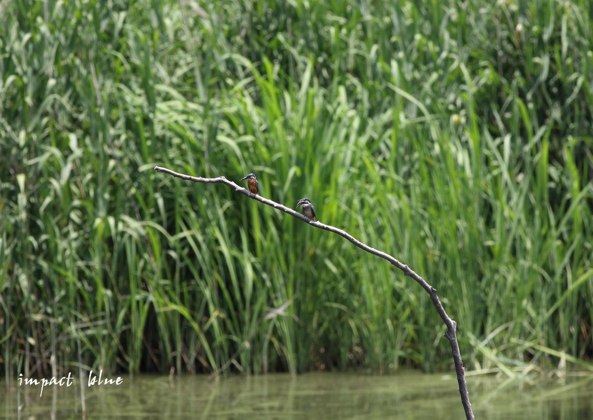 素敵な沼のカワセミっ子(^^)/ ~最終回~_a0355908_14252495.jpg