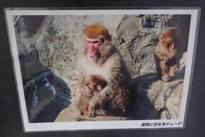 ロックンロールなニホンザル(智光山公園こども動物園 October 2018)_b0355317_21520755.jpg