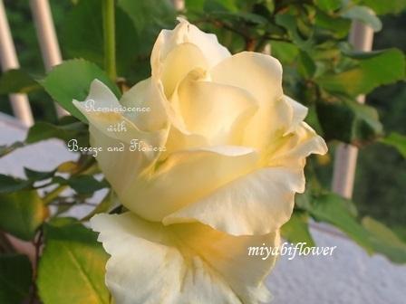 二十年前の挿し木:今年も咲いたティネケ_b0255144_00133597.jpg