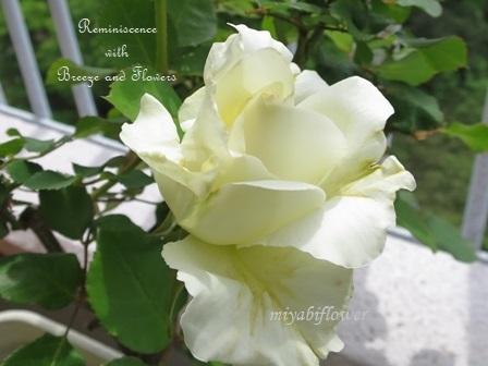 二十年前の挿し木:今年も咲いたティネケ_b0255144_00134446.jpg