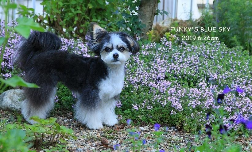 庭の小さなブーケ** (5月28日)と、チポのBefore after ^^_c0145250_08452784.jpg