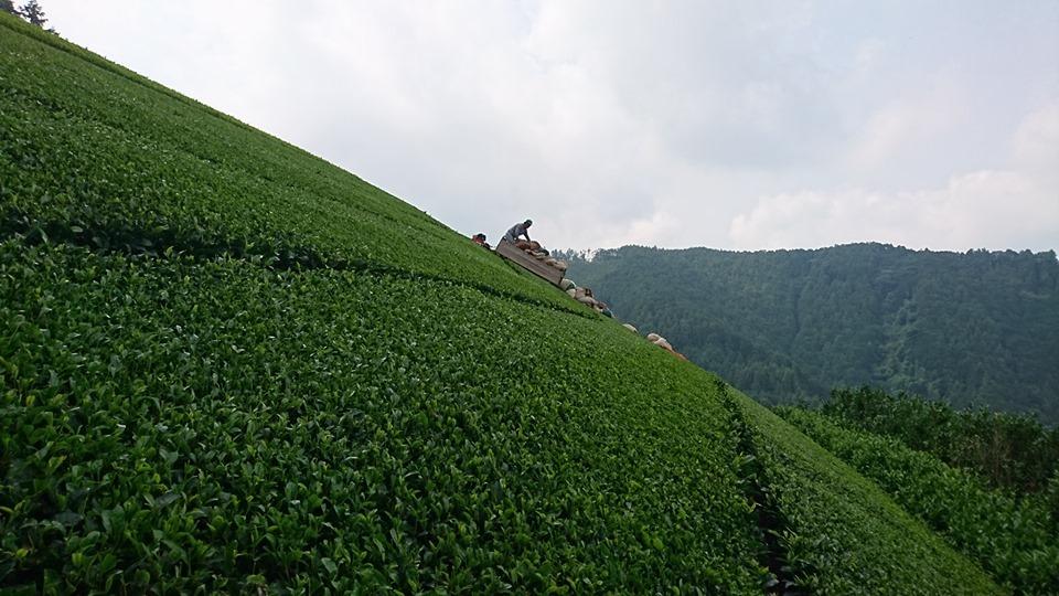 2番茶収穫終了_b0028299_22245939.jpg