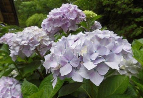 梅雨入り もしくは 紫陽花_a0236300_22020631.jpg