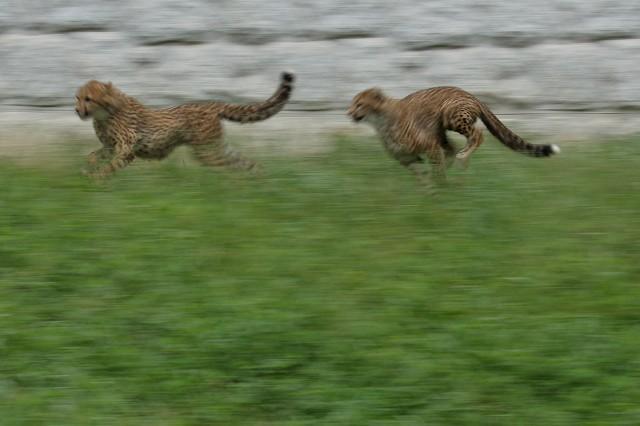 ネコ好きにはたまりません。五つ子たちの、RUN&JUMP_b0291402_05275725.jpg