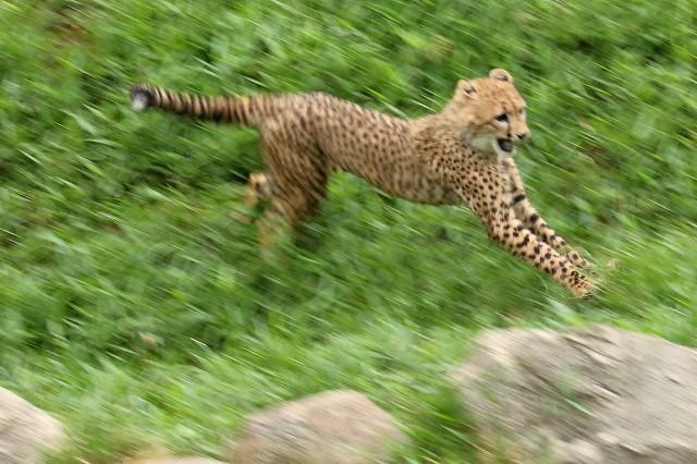ネコ好きにはたまりません。五つ子たちの、RUN&JUMP_b0291402_05284621.jpg