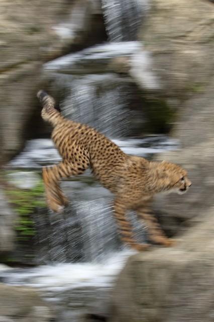 ネコ好きにはたまりません。五つ子たちの、RUN&JUMP_b0291402_05291312.jpg