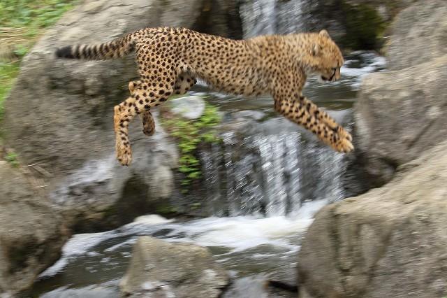 ネコ好きにはたまりません。五つ子たちの、RUN&JUMP_b0291402_05291687.jpg