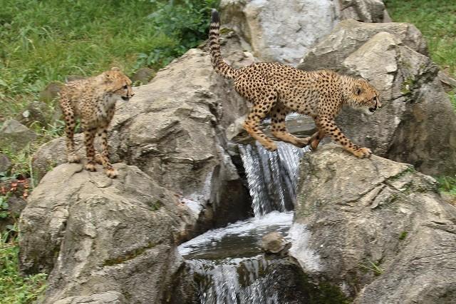 ネコ好きにはたまりません。五つ子たちの、RUN&JUMP_b0291402_05292381.jpg