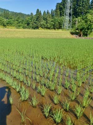 兼業農家はようやく「落水作業」をしました_c0336902_19203237.jpg