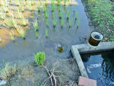 兼業農家はようやく「落水作業」をしました_c0336902_19203567.jpg