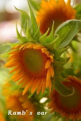 草花、紫陽花、向日葵♪_e0128909_08364317.jpg