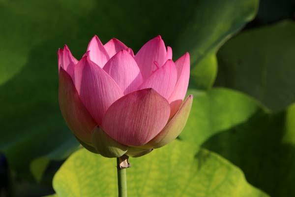 放生池でハスが咲いた 天龍寺_e0048413_22002242.jpg