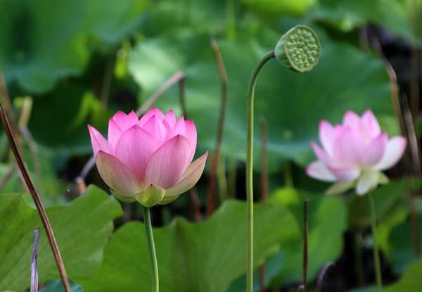 放生池でハスが咲いた 天龍寺_e0048413_22002798.jpg