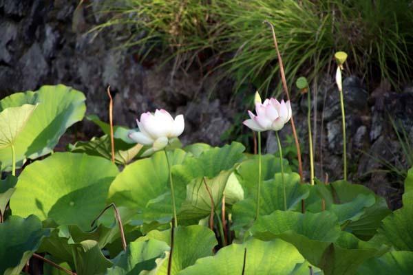 放生池でハスが咲いた 天龍寺_e0048413_22003808.jpg