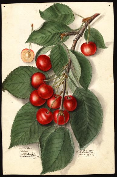 米国農務省の果物水彩画コレクションが公開されています_c0025115_22253721.jpg