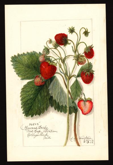 米国農務省の果物水彩画コレクションが公開されています_c0025115_22254909.jpg