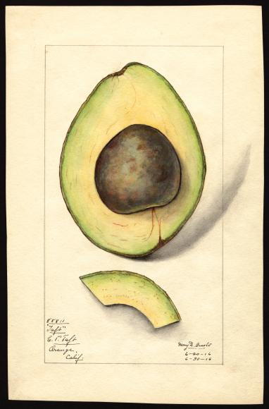 米国農務省の果物水彩画コレクションが公開されています_c0025115_22272202.jpg